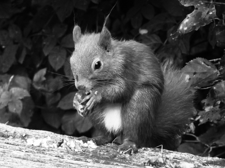 b:w squirrel